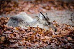 Brown White and Black Deer Laying Down on Brown Grass during Dayimte Stock Images