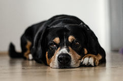 Brown White and Black Dog Lying on Floor Royalty Free Stock Photography