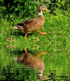 Brown White Black Duck Stock Image