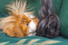 Brown and white and black guinea pigs sitting Stock Photography