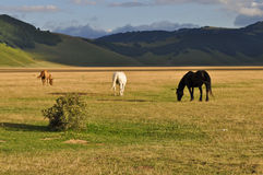Brown, white and black horses on the Apennines landscapes Royalty Free Stock Photography