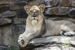 Brown and White and Black Lioness on Gray Ground Stock Image