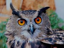 Brown White and Black Owl Royalty Free Stock Photo