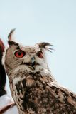 Brown White and Black Red Eyed Owl Royalty Free Stock Images