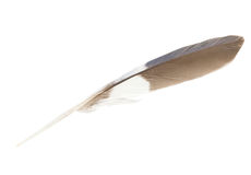 Brown, white and blue parrot feather Stock Photography