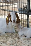 Brown and white Boer goat and her kid. Boer brown and white goat mother and baby kid resting stock photos