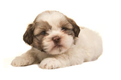 Brown and white boomer puppy dog lying. On a white background Stock Images