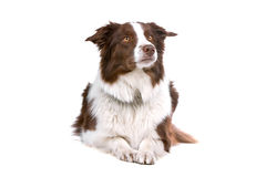 Brown and white border collie dog. Front view of a brown and white border collie dog lying, isolated on a white backgroound Stock Photo
