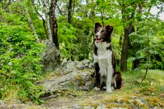 Brown and white border collie dog sitting in a park stock images