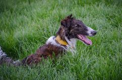 Brown and White Borzoi is lying in the grass VII royalty free stock photos