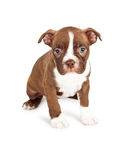 Brown and White Boston Terrier Puppy Stock Image