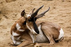 Brown and White Buck Animal Royalty Free Stock Images