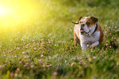 Brown-and-white bulldog walking on summer day in meadow Royalty Free Stock Images