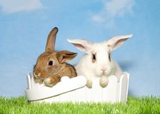 Brown and white bunnies in an easter basket. Two adorable baby bunnies, one brown one spotted white sitting in a white basket in green grass with blue background Royalty Free Stock Image