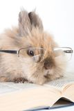 Brown-white bunny Royalty Free Stock Photography