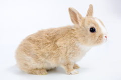 Brown-white bunny, isolated on Royalty Free Stock Photography