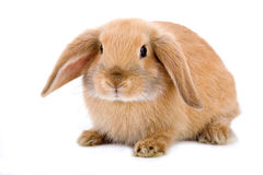 Brown-white bunny, isolated. On white stock image