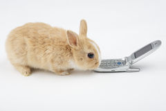 Brown-white bunny with mobile Stock Image