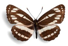 Brown and White Butterfly. Butterfly insect animal fragility butterfly wings entomology isolated Stock Photography