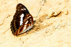 Brown and white butterfly Royalty Free Stock Photography