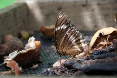 Brown and white butterfly feeding on old fruit and seeds royalty free stock photos