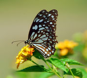 Brown White Butterfly insect Royalty Free Stock Image
