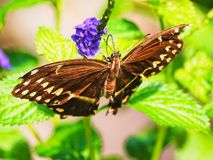 Brown and white butterfly on purple flower. Brown and white butterfly on a purple flowered salvia plant with bright green leaves in summer Stock Photos