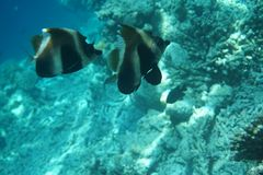 Brown-and-white butterflyfish Hemitaurichthys zoster royalty free stock photography