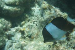 Brown-and-white butterflyfish Hemitaurichthys zoster royalty free stock images
