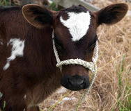 Brown & White Calf Stock Images