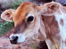 Brown and white calf Stock Photo
