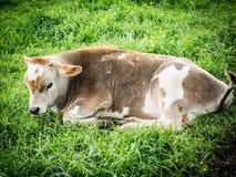 Brown-and-White Calf Stock Photos