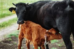 Brown with white calf drinking milk from mother cow. In green meadow stock images
