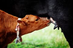 Brown with white calf drinking milk from mother cow. In green meadow stock photo