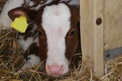 Brown white calf laying in stable royalty free stock images