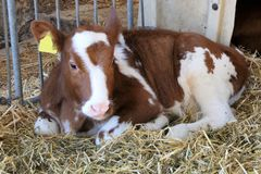 calf in stable royalty free stock photo