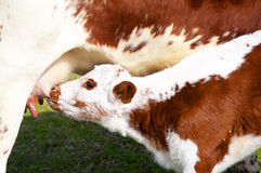 Brown and white calf suckling Stock Images