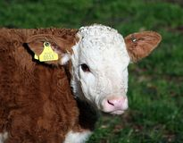 A brown and white calf with yellow ID tag. And a pink nose, against a background of green grass Stock Photo