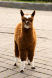 Brown White Calico Alpaca Llama Stock Photography