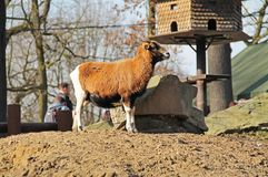 Cameroon sheep. Brown and white cameroon sheep in the outdoor enclosure Royalty Free Stock Image