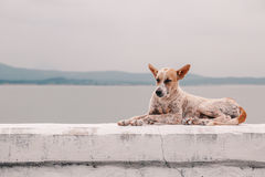 Brown and White Canaan Dog Royalty Free Stock Photo
