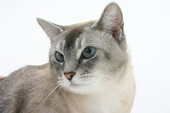 Brown and white cat stock image