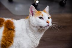 Brown and White Cat Stock Photography