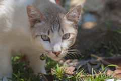 Brown and white cat Royalty Free Stock Images