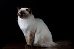 Brown white cat with blue eyes looking a side Royalty Free Stock Image