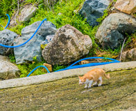 Brown and white cat on crouched down on concrete pavement. With large boulders in background Royalty Free Stock Photos