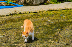 Brown and white cat on crouched down on concrete pavement. Looking for food Royalty Free Stock Images