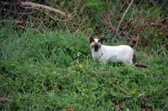 Cat hunting for a hidden lizard. A brown and white cat hunting a garden lizard Royalty Free Stock Photo