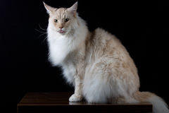 Brown white cat looking front Royalty Free Stock Photo