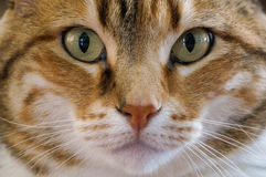 Brown and White Cat. Looks intently at the camera with facial details Royalty Free Stock Images
